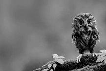 || Owls ||