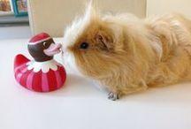 Cavia's en andere schatjes / Cavia's - Guinea Pigs