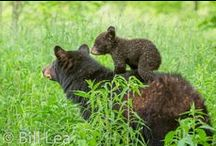 Critters / The wonderful animals who allow me to share their world.  It began with fabulous bear photographs in GSMNP by Bill Lea.  I am grateful he shares these with us. / by Judith Frye