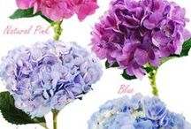HYDRANGEA / Autumn is a second spring when every leaf is a flower. Anonymous