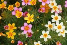 Цветы и цветники / Выращивание однолетних и многолетних цветов на участке.
