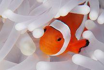 Clown Fish (Nemo)
