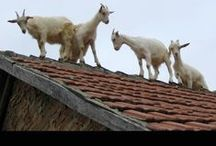 A gOAt oN mY RoOF