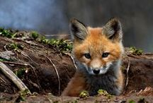 Foxes(Vulpi) / frumoasele cumetre vulpi in diferite ipostaze