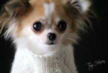 Chihuahua fur babies / Long haired chihuahuas / by Elizabeth Wilding
