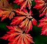 Autumn. November. Maple