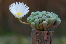 crasas, cactus, succulent