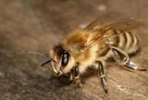European honey bee / Westliche Honigbiene