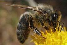 European dark bee / Dunkle Biene