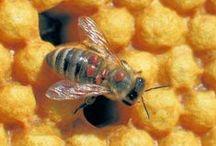 Beekeeping Maladies / Varroa / Bienenkrankheiten