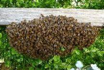Bee swarm / Bienenschwarm