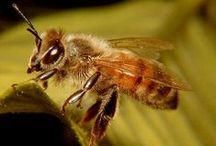 Russian bee / Russische Biene