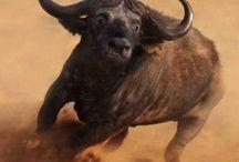 Animal - Buffalo / Buffalo