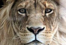 Animal - Lions