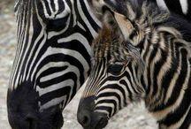 Animal - zebra