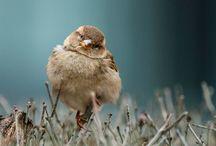 M U S  /  S P A R R O W / Sparrow / Mus