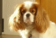 Cavalier King Charles Spaniel / Cavalier King Charles Spaniel dogs