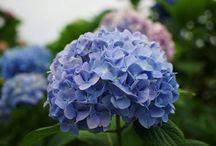 紫陽花2015 / 2015
