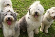 My Old English Sheepdog / My love