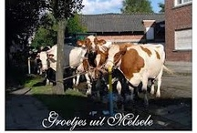 My village / You can find us in Melsele, a little village between Antwerp and Gent.  East Flandres, Belgium.  Je kan ons gemakkelijk terugvinden op een gemakkelijk te bereiken locatie te Melsele/Beveren Waas, Oost Vlaanderen, België.  Tussen Gent en Antwerpen.