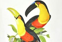 Birds of a Feather / Explore the French illustrator Jean Theodore Descourtilz's bright illustrations of Brazilian bird types. The son of the French adventurer, botanist and naturalist Michel Etienne Descourtilz. worked for the National Museum of Rio de Janeiro.