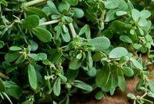 Foraging & Edible Weeds