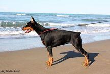 Dobermann / Dobermann, Dog