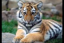 Tigers photo/art