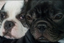 My Kidz & other French Bulldogs / I am owned by two farting Frenchies. Igmonster (aka Iggy Pop) who is a rescued DEAF pied male and Gidget, a quirky black brindle.