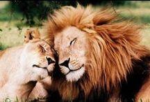 Big Cat Lion Royals