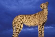 Big Cat Cheetah Speed