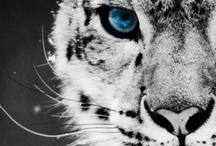 Big Cat Leopard Perfection