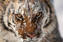 Big Cat Tiger Stripes