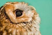Owls woo woo