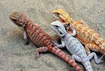 Dragons ---- Lizards