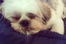 #Shihtzu #dog #cute #puppy shih tzu / Shihtzu puppies x