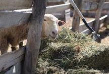 Spring on the Dutch farm