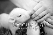 I NEED a teacup pig / If you could not guess by the title this is about my love for teacup pigs! They're so cute!
