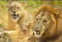 Wildlife / Zambia is home to a variety of animal. If you have not yet been to Zambia, then you have not seen anything yet. Natural wildernesses hosting a varied amount of wildlife.
