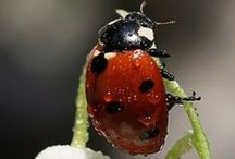 laydybugs