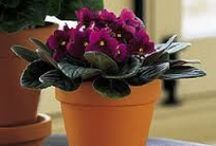 African Violet / Doesn't get any better than a flowering houseplant!