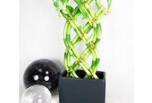 Lucky Bamboo Houseplant / This beloved houseplant is truly lucky because it is one of the easiest plants to grow.