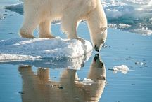 Animals / Polar Bears are Awesome!