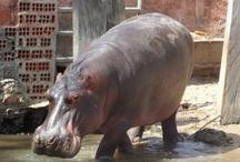 Hipopótamo - Zoobotânico de Teresina / Zoobotânico de Teresina – Hipopótamo
