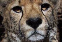 Big Cats / Pictures of lions, leopards, panters, cheetahs etc.