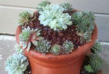 Garden / succulents etc