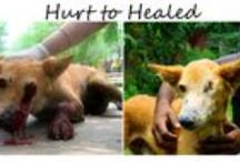 Hurt to Healed Rescue Stories  / Before and after photos of rescued street animals at Animal Aid Unlimited in Udaipur, India.