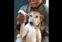 Videos of Animal Aid, India / Rescue, volunteer, success story videos from Animal Aid Unlimited, in Udaipur, India.