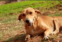 Our Shelter Dogs  / Animal Aid is home to around 75 disabled, blind, and old dogs who were rescued from the street in Udaipur. Because of their special care needs, they wouldn't be able to survive on the street, and so instead of being released have been kept with us in our permanent sanctuary. Our oldest shelter dog is Kheli, who has been with us for almost 10 years! Many have been with us for most of their lives. They are one big, wobbly, floppy eared, curly tailed hilarious, adorable, much loved family.