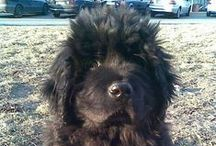 My love,Tazík newfoundland / you'll always bee in my heart & memories